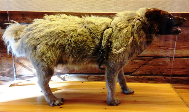 Roald Amundsen's dog in Polar Musue,m Tromso, Norway - image Zoe Dawes