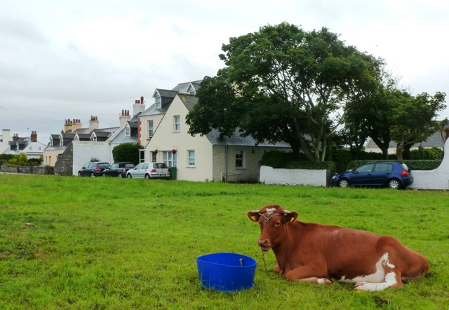Guernsey Cow on L'Ancresse Common