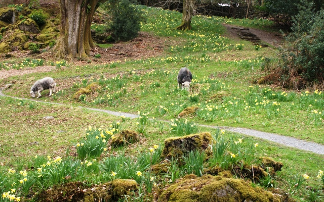Dora's Field daffodils and sheep - photo by Zoe Dawes