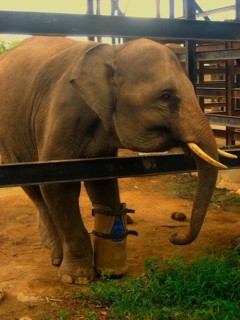 Elephant in wildlife sanctuary
