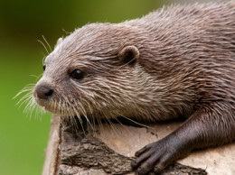 Otter - London Wetlands Centre
