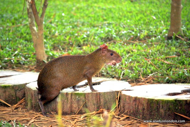 Wild agouti