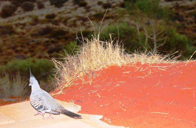 Desert pigeon Uluru - by Zoe Dawes
