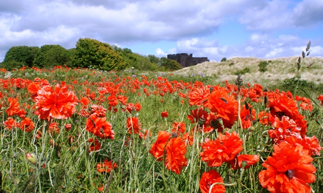 Bamburgh Castle and red poppies, Northumberland - image Zoe Dawes
