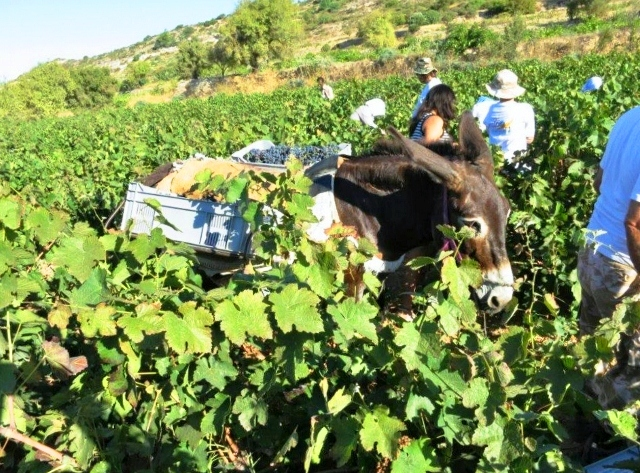 Zambartas grape harvest