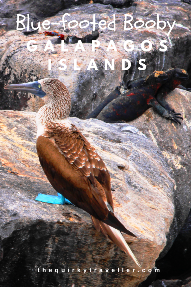 Blue-footed booby and marine iguanas Galapagos Islands - image Zoe Dawes