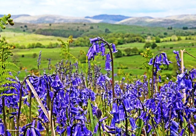 Bluebells in the Lake District - photo zoedawes