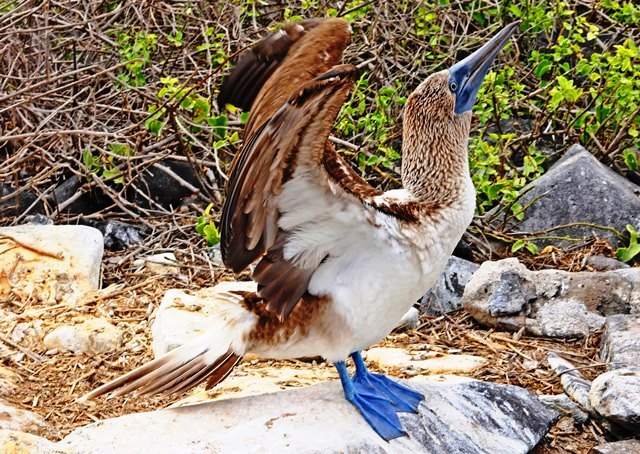 Blue-footed Booby on Espanola Island Galapagos Ecuador - photo zoe dawes