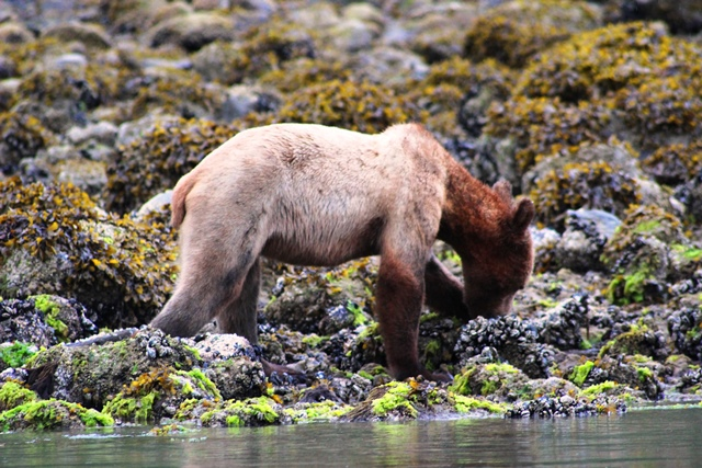 Grizzly bear cub turning over stones Knight Inlet - Zoe Dawes