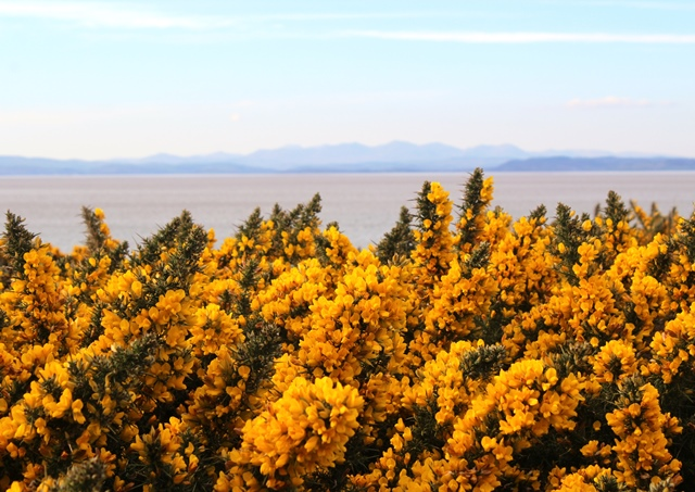 Gorse bushes on Heysham Barrows overlooking Morecambe Bay and the Lake District hills