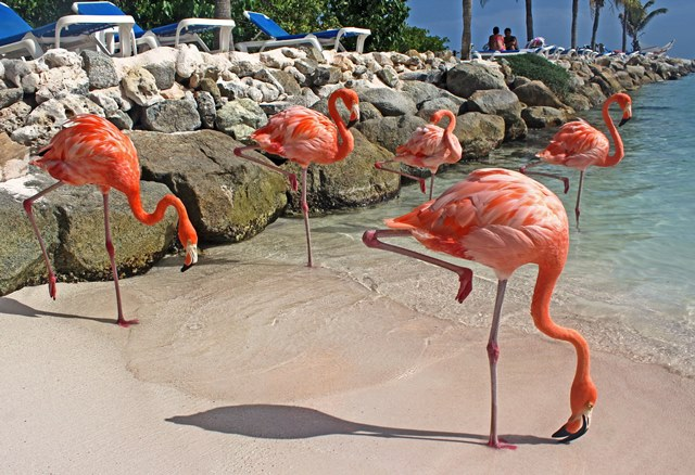 Hotel Renaissance Aruba flamingos - photo zoe dawes
