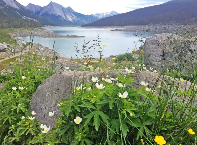 Wild flowers by Medicine Lake in the Rockies - photo zoedawes