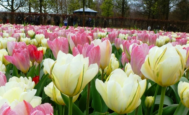 White and pink tulips at Keukenhof Gardens - by Zoe Dawes