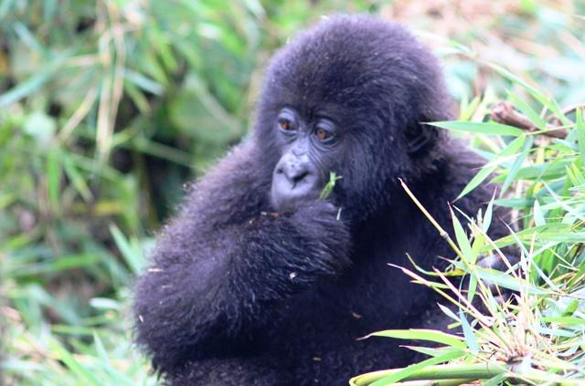 Young gorilla eating bamboo Rwanda - photo Zoe Dawes