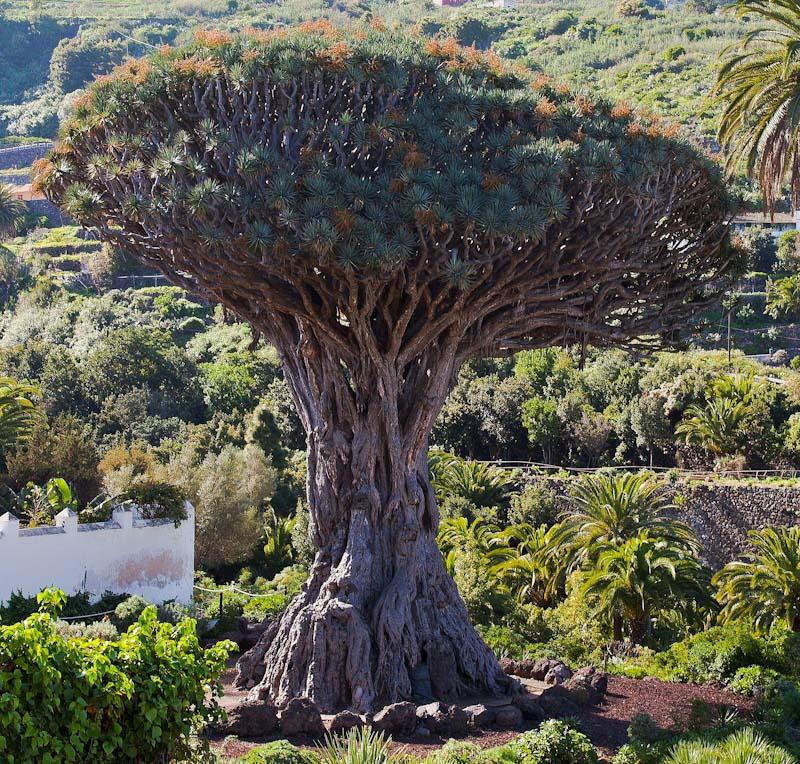 Drago de Icod de los Vinos Tenerife - photo Diego Delso