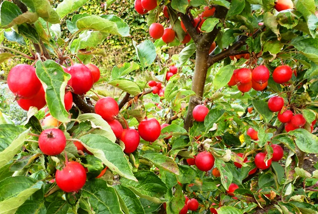 Apples in Autumn - photo zoedawes