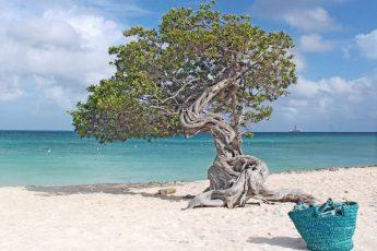 Fofoti Tree on Eagle Beach Aruba in the Caribbean
