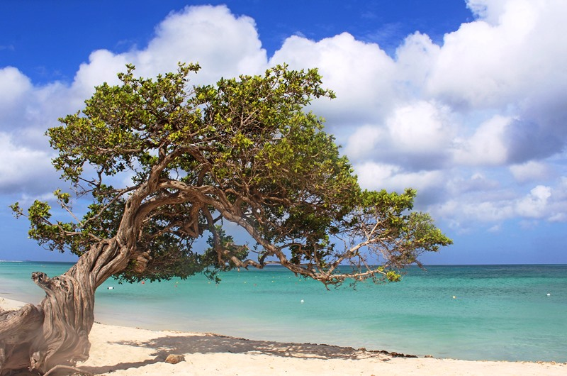 Fofoti Tree on Eagle Beach Aruba in the Caribbean