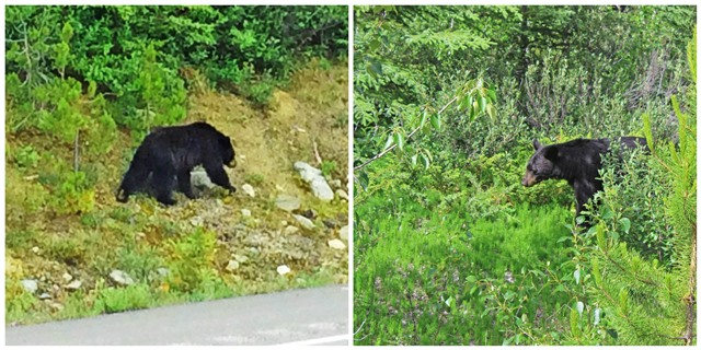 Black bears in the Rockies - RV road trip Canada - image zoedawes