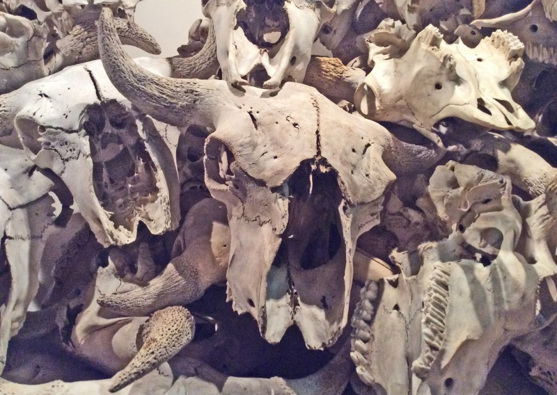 Buffalo skulls at Head Smashed in Buffalo Jump exhibition