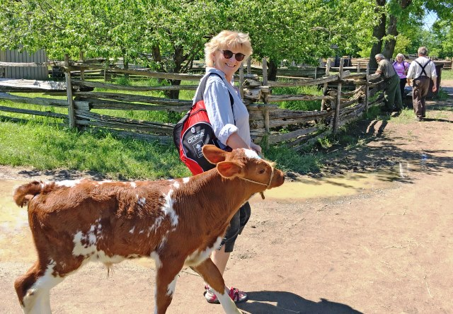 Walking calf on farm Upper Canada Village - Zoe Dawes