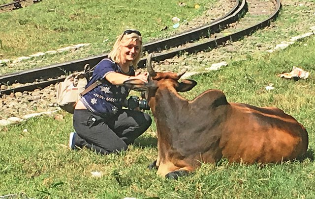 Up close with a cow on the Toy Train railway line India - photo Zoe Dawes