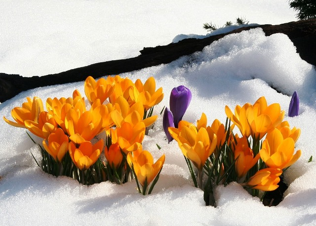 Crocus in snow - top 20 winter quotes - The Quirky Traveller