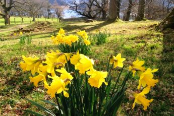 Daffodils at Ullswater - spring in the Lake District