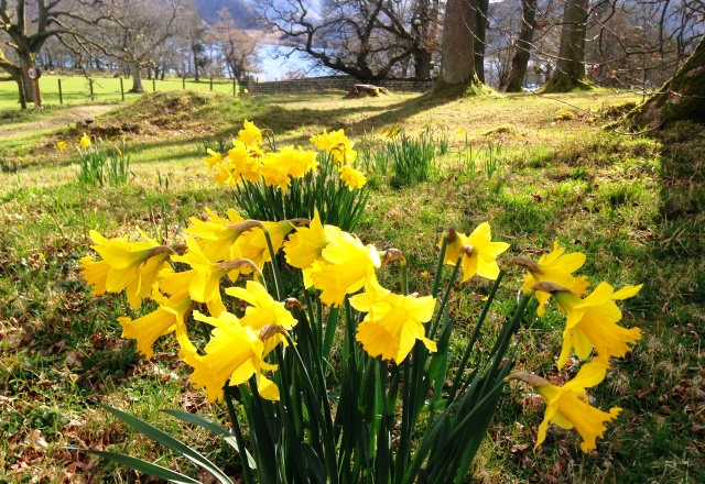Daffodils in Ullswater, Lake District - zoedawes