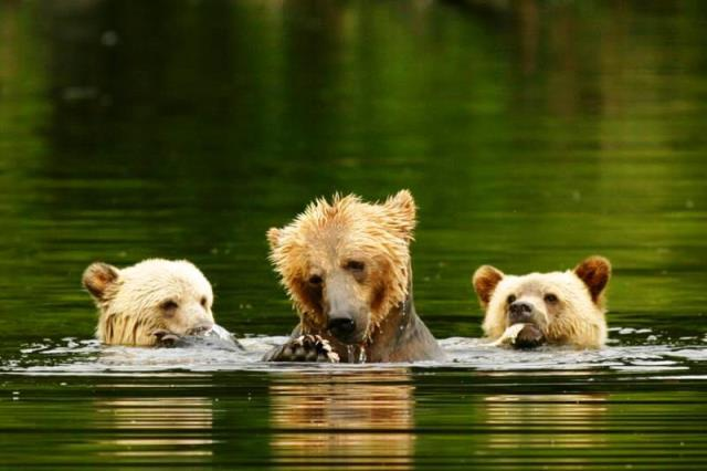 dave-campbell-grizzly-bears-knight-inlet-lodge