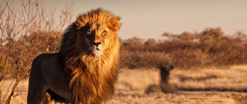 Desert Lion in Namibia