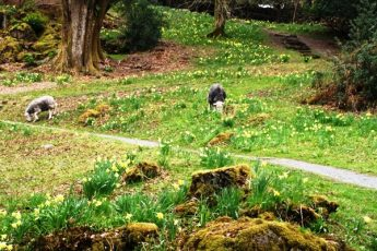 Herdwick sheep and daffoldils in Dora's Field in Rydal, Lake District, Cumbria