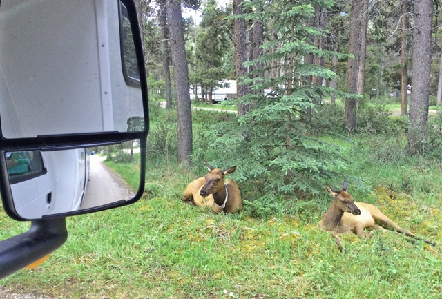 Elk in Whistlers Campground - RV Road Trip Canada - image zoedawes