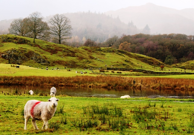 Elterwater lake and Herdwick sheep Lake District - zoedawes