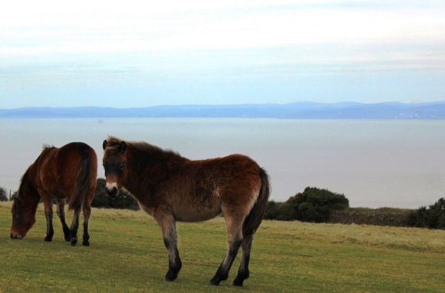 Exmoor ponies overlooking Bristol Channel