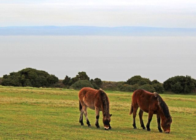 Exmoor ponies at Foreland Point - image zoedawes