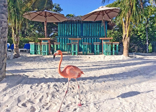 Flamingo in front of Mangrove Beach Bar - Renaissance Aruba