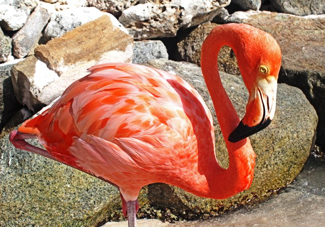 Flamingo on Renaissance Aruba island - photo zoe dawes