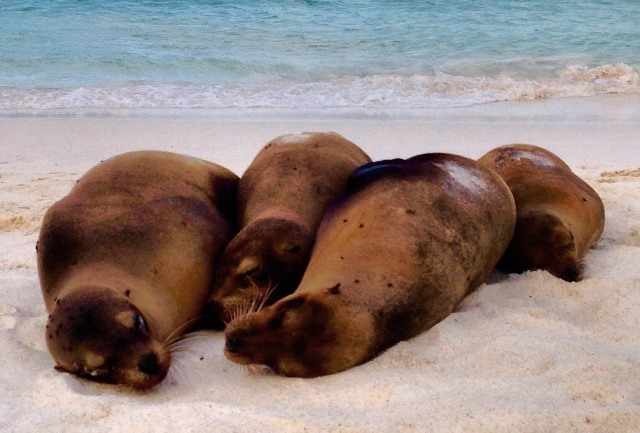 Four-sea-lions-Espanola-Galapagos Islands Ecuador - photo Zoe Dawes