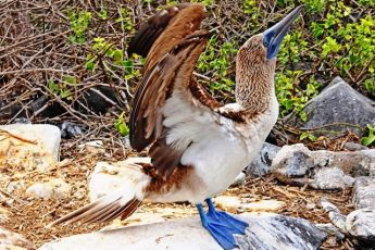 Galapagos Islands Blue-footed Booby
