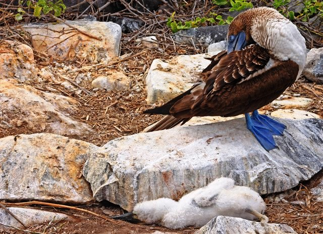 Blue-footed booby and chick on Espanola Island Galapagos Islands Ecuador - photo zoe dawes