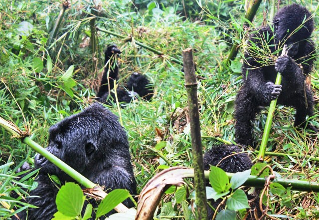 Gorilla family in Rwanda West Africa - photo zoedawes