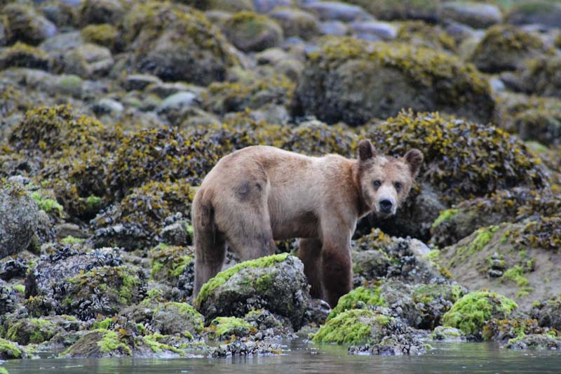 Grizzly bear cub at Knight Inlet in British Columbia - Canada Mind Body Spirit Travel - photo Zoe Dawes
