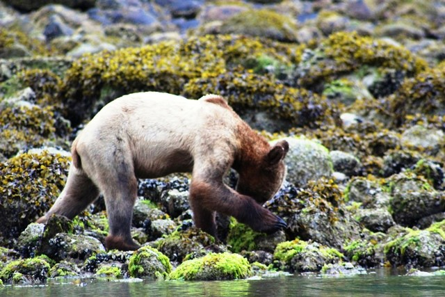 Grizzly bear cub Knight Inlet BC Canada - photo Zoe Dawes