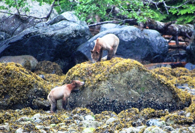 Grizzly bear cubs Knight Inlet BC Canada - zoedawes