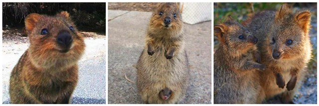 The quokka - happiest animal in the world.