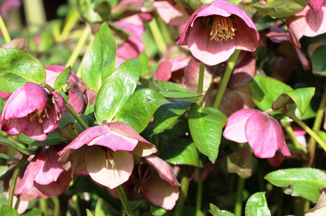 Hellebores Whalley Abbey Lancashire