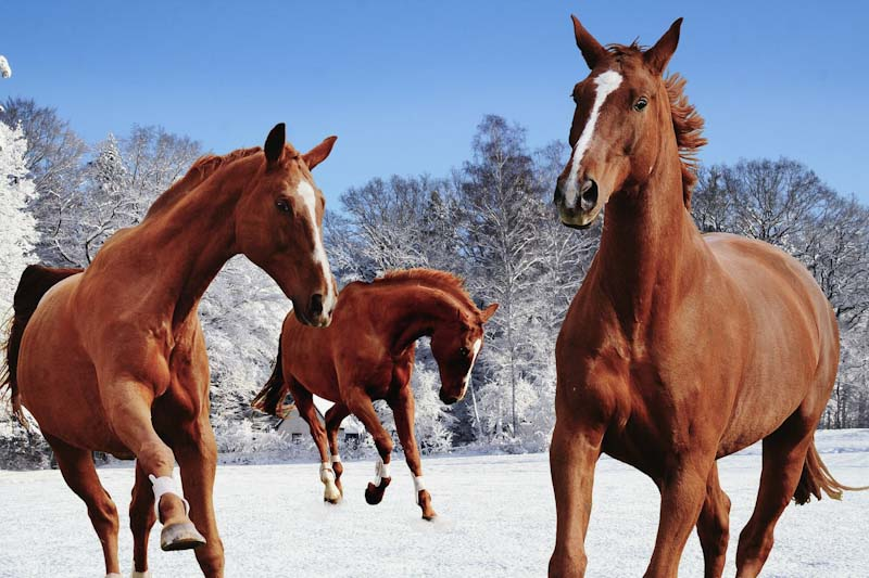 Three horses in a field of snow - photo alexas fotos