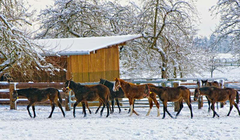 Horses in the winter snow - photo Lizzyliz