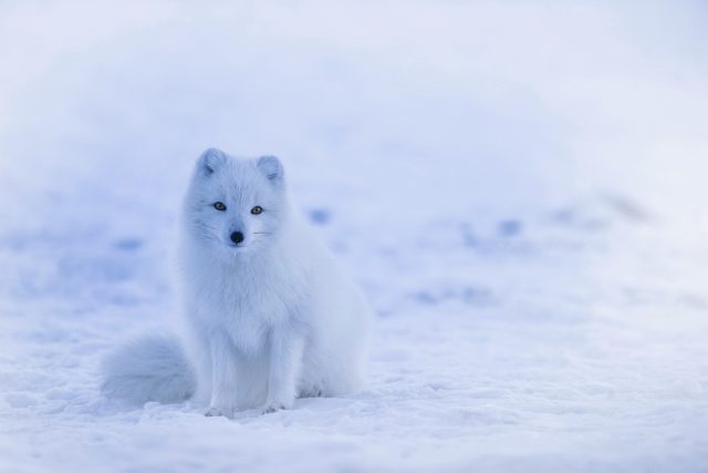 Arctic Fox - 20 winter quotes - The Quirky Traveller